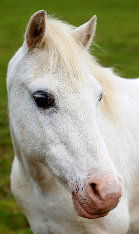 Beau. Gray sec a gelding 11hh. 1990. Sweet and special Childs pony.