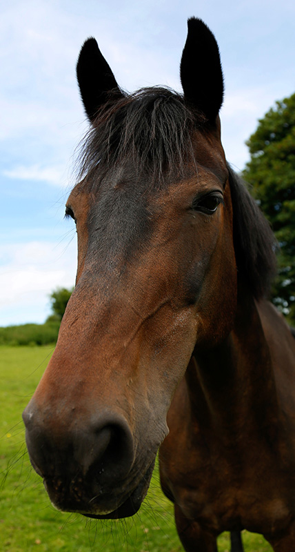 Google. Bay b 16.2hh gelding aged. Fantastic safe hack with cheeky character, will jump anything.