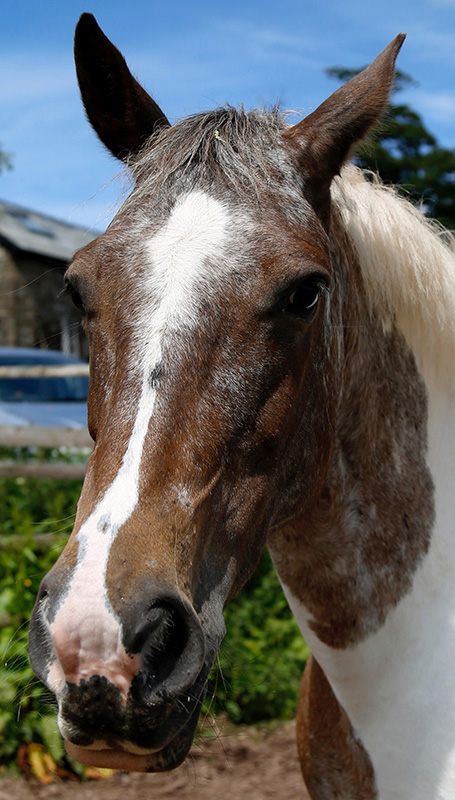 Jewel. Pintaloosa mare 15hh 2008. Tb x cob. Sensible and sane loves to hack and always jumps a clear round.