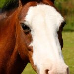 Mouse. 12.2, bay mare, welsh mountain type, aged.  Super first ridden pony who is fun and safe Popular with all the children.